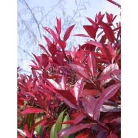 Pianta di Photinia x Fraseri Red Robin in Vaso 18