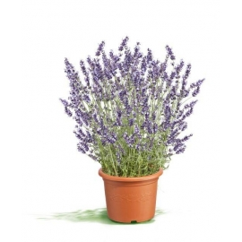 Pianta di Lavanda Officinalis in Vaso 14cm