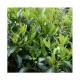 PIANTA DA SIEPE Viburnum tinus Lucidum vaso 18 cm h. 60-80 cm