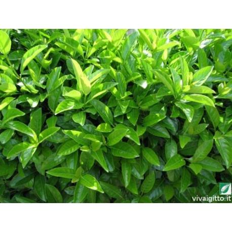 PIANTA DA SIEPE Viburnum tinus Lucidum VASO 24 cm h.80-100 cm