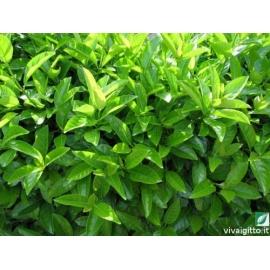 PIANTA DA SIEPE Viburnum tinus Lucidum VASO 35 cm h. 120-140 cm
