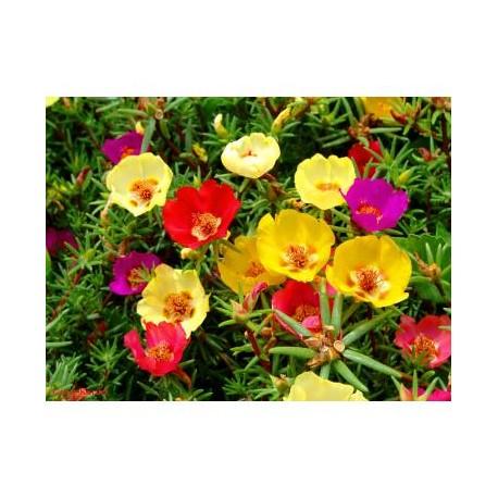 Pianta di Portulaca Grandiflora in Vaso 14